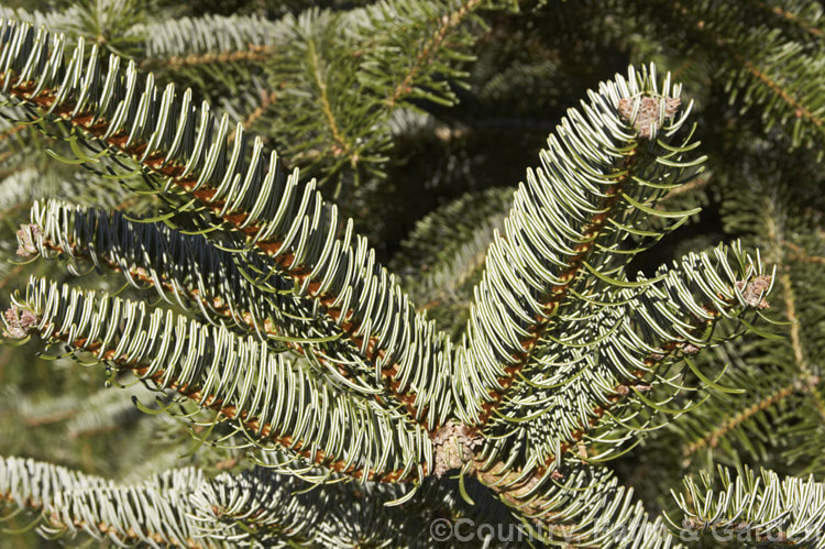 Abies Religiosa Photo Royalty Free Abies Stock Image Cfg8638jpg