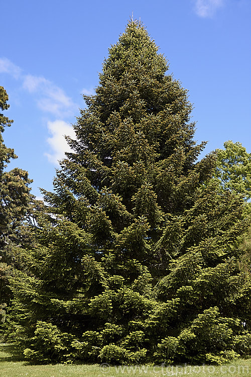 Abies Religiosa Photo Royalty Free Abies Stock Image Cfgl001jpg