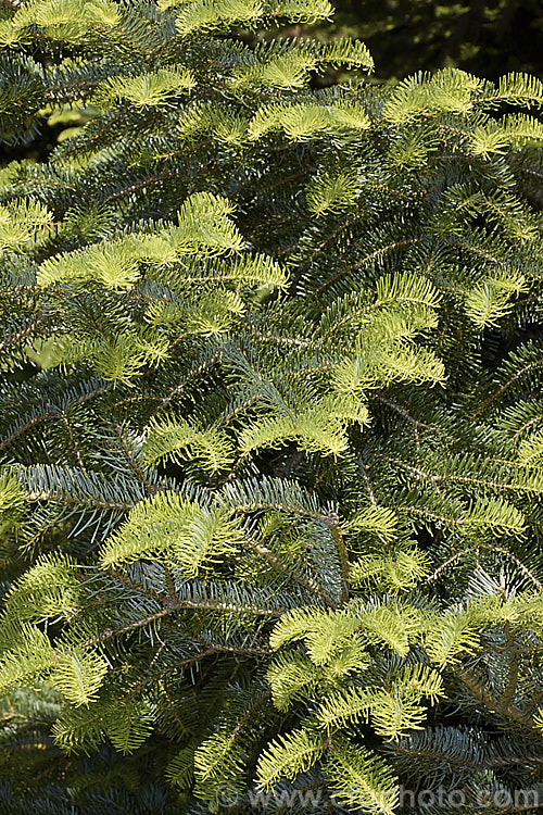 Abies Religiosa Photo Royalty Free Abies Stock Image Cfgl004jpg