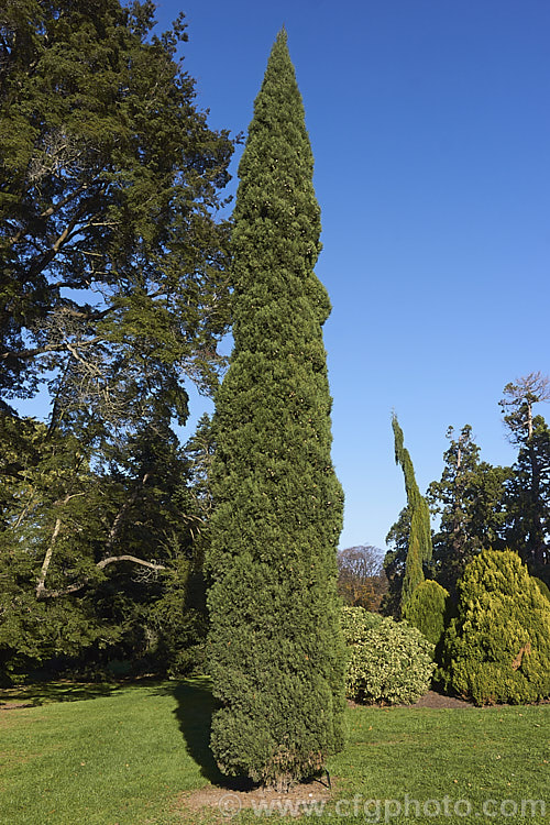 Cupressus sempervirens Totem Pole Photo - Royalty Free Cupressus ...