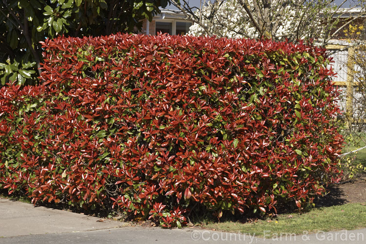 photinia fraseri red robin photo royalty free photinia stock image. Black Bedroom Furniture Sets. Home Design Ideas