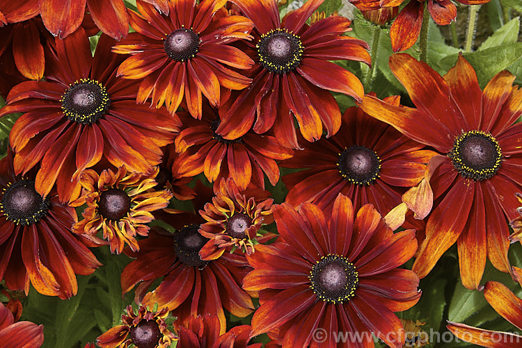 Rudbeckia autumn colors