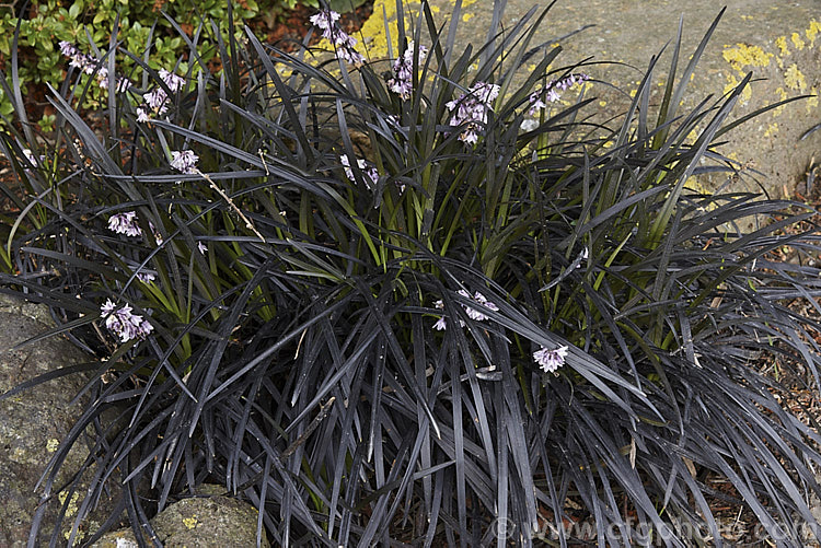 ophiopogon planiscapus nigrescens photo royalty free ophiopogon stock image. Black Bedroom Furniture Sets. Home Design Ideas