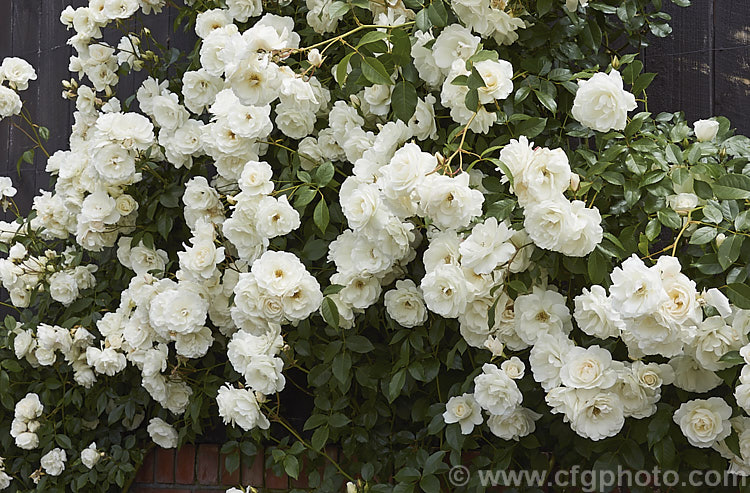 Rosa iceberg photo royalty free floribunda roses stock for Rosa iceberg
