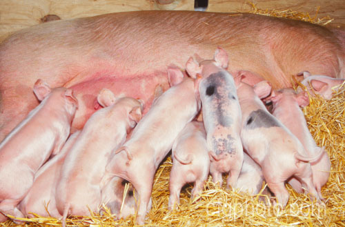large white sow and piglets photo royalty free pigs hogs stock