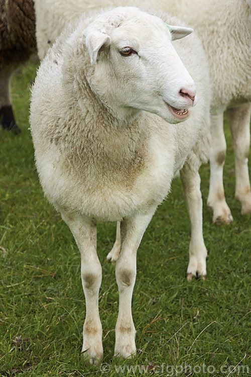 Meatmaster Photo - Royalty Free Other Sheep Breeds Stock Image